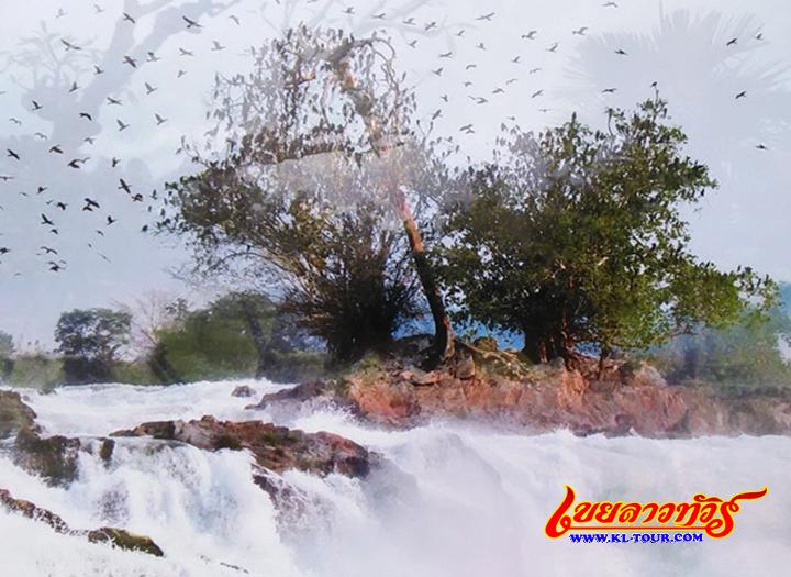 ต้นมณีโคตร น้ำตกคอนพระเพ็ง จำปาสัก ลาวภาคใต้